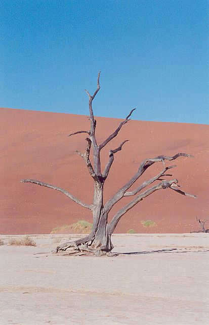 Dry Tree in Desert