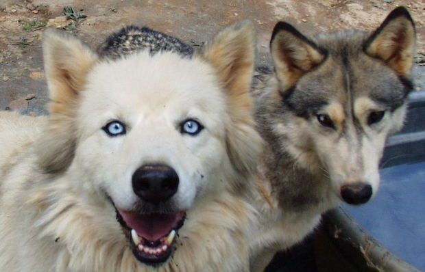 Two Wolves Dogs