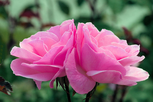 two-pink-rose