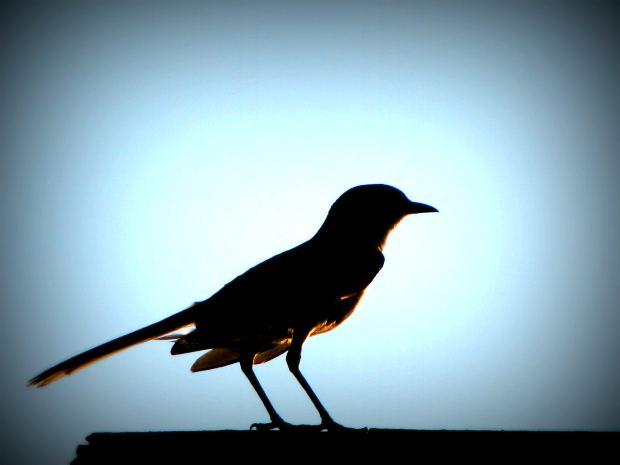 Koyal-bird