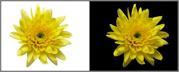 same-flower-black-and-white