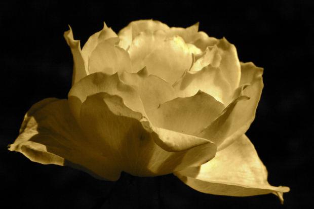 sepia-rose-love-poem-midnight