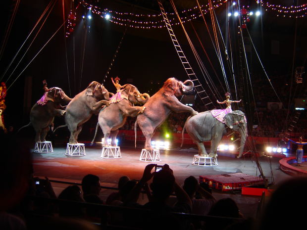 Elephants in Circus