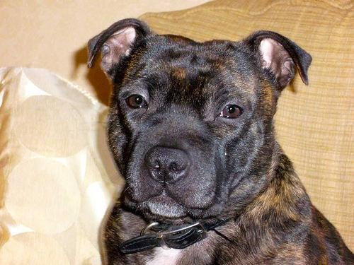 pitbull-black-dog