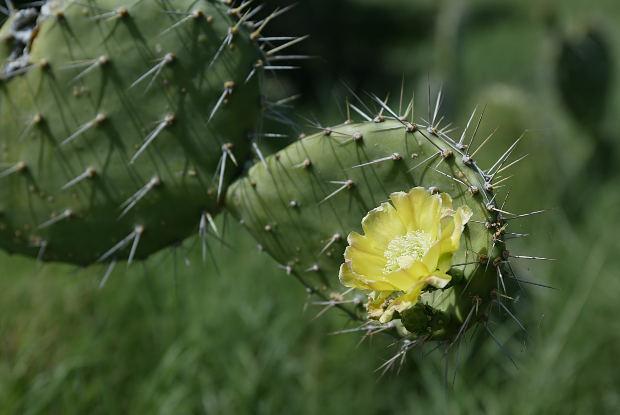 flower-yellow-caktus