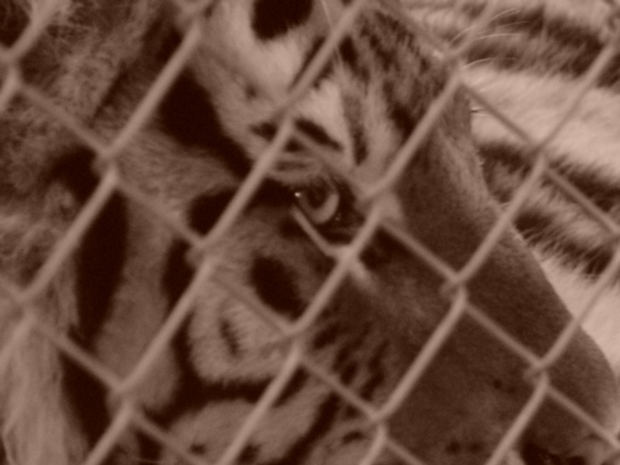 tiger-cat-in-cage