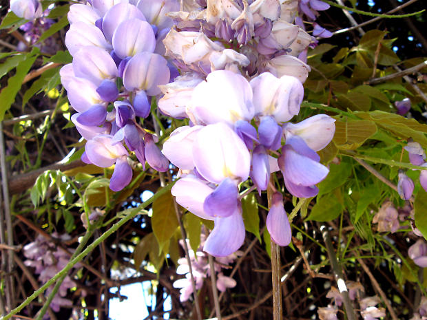 lavender-tree-flowers