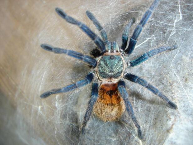 Spider-tarantula