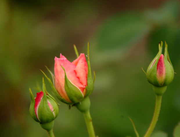 Three-rose-buds-red