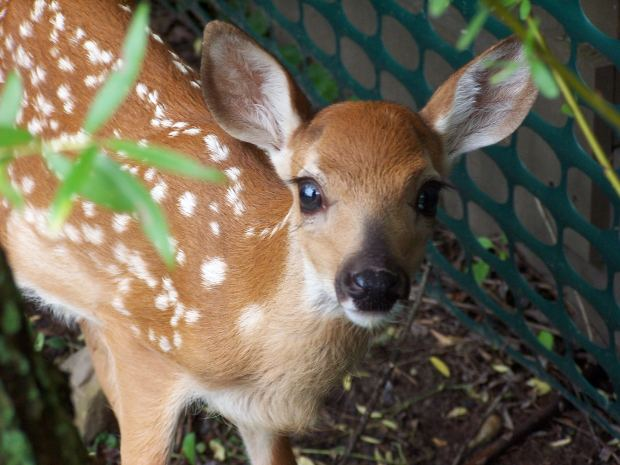 fawn-deer-baby-green-tail