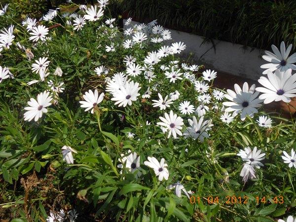 Daisies-flower-white