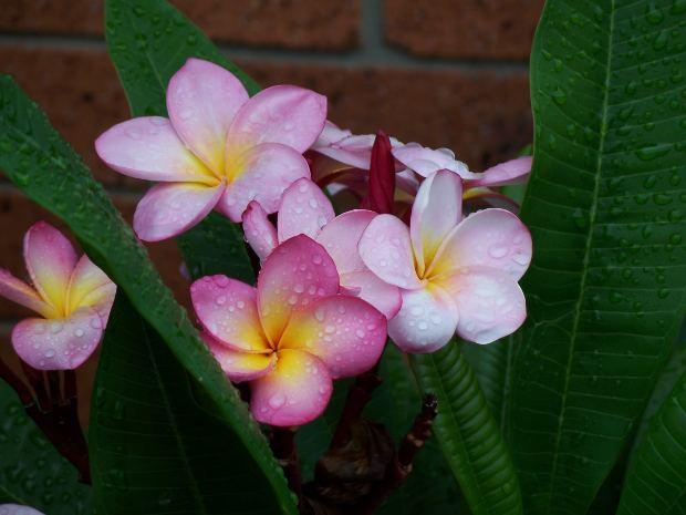 Flower-Frangipani-pink-white