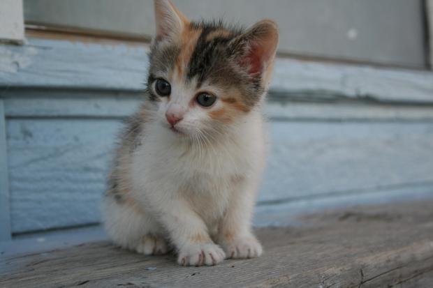 Kitten-white-brown-story